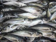 Horse mackerel Trachurus trachurus
