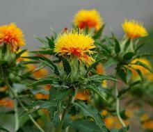 Safflower Oil in Bulk Wholesale Natural Herbal Oil