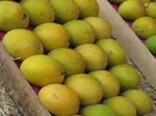 Hot Sale fresh mangoes