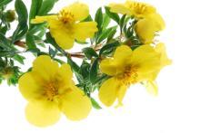 Evening Primrose Oil in Bulk Wholesale Natural Herbal Essential Oil