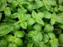 Basil Oil in Bulk Wholesale Natural Herbal Essential Oil