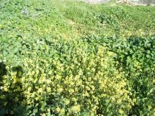 Wild Mustard Oil in Bulk Wholesale Mustard Oil Mustard Essential Oil