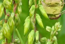 Buckwheat Oil in Bulk Wholesale Natural Essential Oil Buckwheat Price