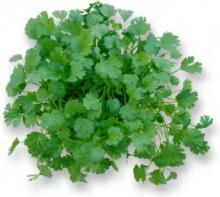 Coriander Oil in Bulk Wholesale Natural Just Essential Oil coriander seeds