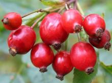 Rosehip Oil Rosehip Seeds Oil in Bulk Natural Essential Oil