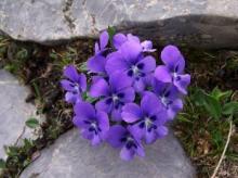 Natural Violet Flower Oil in Bulk Wholesale