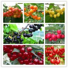 fresh cherries and kirchwasser