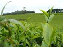 Ndu Tea
