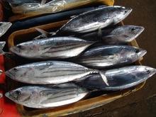 High Quality Frozen  bonito   tuna  whole fish