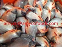 Frozen Red Pomfret Whole Round fresh frozen good quality good price