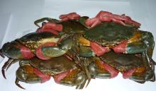 LIVE MUD CRAB, FROZEN MUD CRAB, FRESH MUD CRAB, MUD CRAB, ROCK MUD CRAB