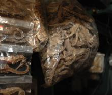 Best quality dried seahorse for sale