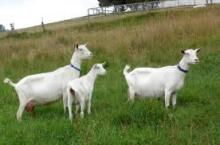Alpine, Saanen, Nubian and Toggenburg dairy goat does and bucks