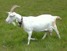 Nubian and Toggenburg dairy goat does and bucks