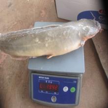 Frozen Catfish IQF