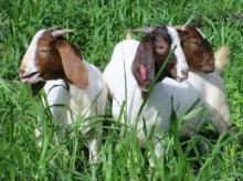 Boer Goats for sale ( Bucks, Doers , Kids, pregant )