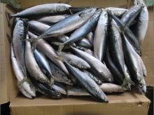 high quality whole round frozen pacific mackerel