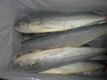 frozen mahi mahi fish whole round on sale