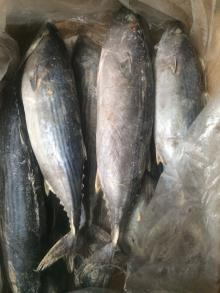 frozen stripped bonito fish whole round