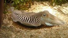 Cuttle fish