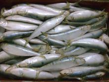 frozen sardine whole round
