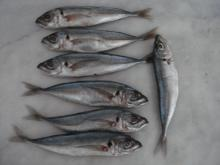 Sell  Korean  Frozen Horse mackerel