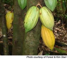 Cocoa Bean Extract