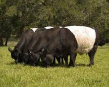 LIVE DAIRY COW BELTED GALLOWAYS COWS
