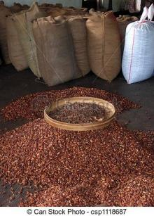 Hand Picked Cocoa Beans for Sale