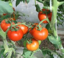 Lycopene  /  Tomato   Extract