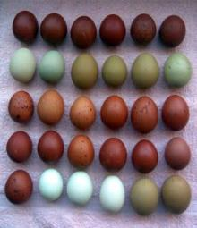 FRESH BROWN POULTRY EGGS!!!!!