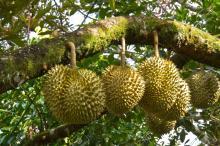 Best Durian fresh fruit from thailand