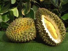 Premium Fresh Durian / Frozen Durians Thailand