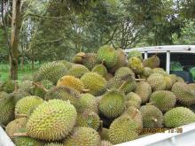 Durian   fresh  fruit from Thailand