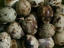 African  Quail   eggs  for  sale