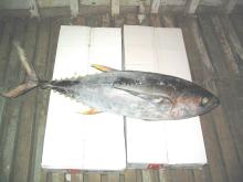 Yellow Fin Tuna Fish Whole Round