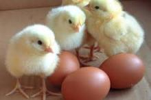 CHICKEN EGGS EXPORTERS / Fresh Table Chicken Eggs ( Brown and White)
