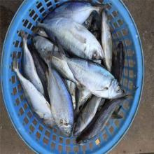 Frozen bigeye scad fish whole round
