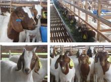 Live Boer Goats,Saanen Goats, Askanian Goats