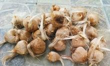 saffron seed