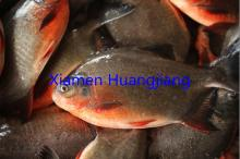 Red Pomfret Whole Round