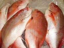 Fresh and Frozen Red Snapper