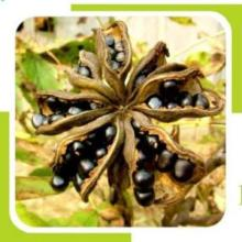 100% pure peony seed oil