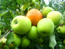 Fresh Royal Gala Apples, Fuji Apples and Golden Delicious Apples for sale.