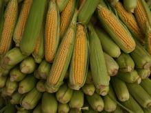 Sweet Corn Freshly Picked
