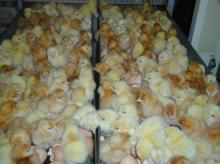 Fertile hatching and Fresh table Chicken Eggs for sale