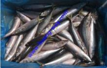 Offer Frozen Pacific Mackerel in Large Quantity