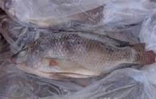 frozen tilapia fish, Fish, Fish meal