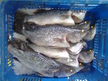 IQF&IWP Sea Bass