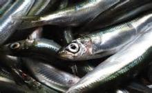 Good Quality Canned Sardines Frozen Whole Round